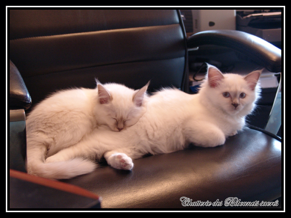 Loof chat persan blanc